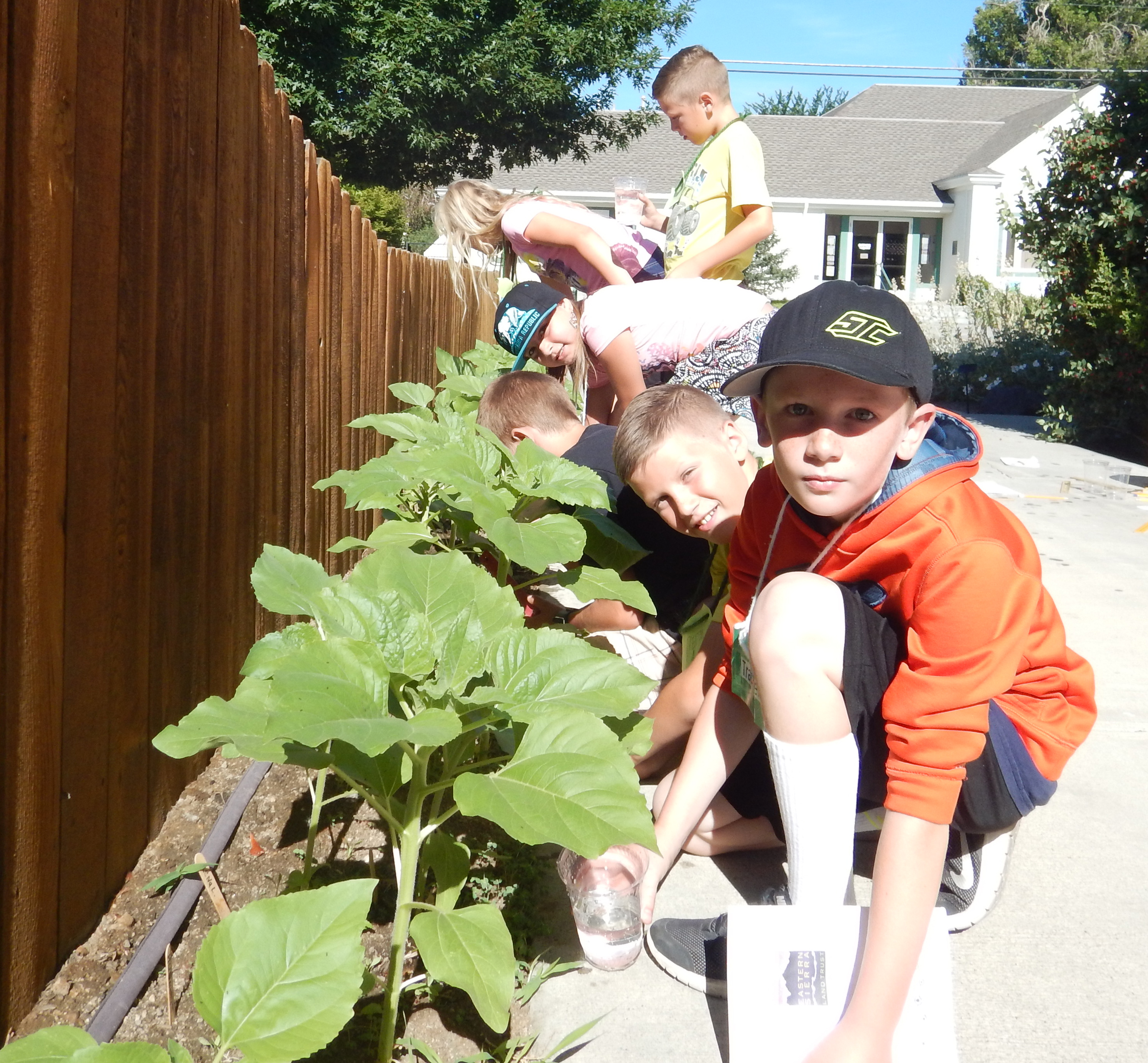 Trenton, Trevor and their classmates water their sunflowers and tracked their growth.