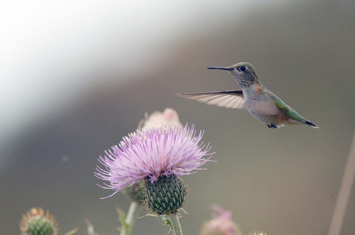Calliope Hummingbird and thistle flower