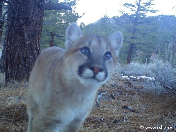 eastern sierra cougar smiles for camera