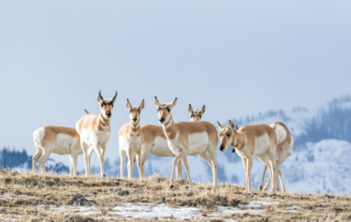 6 pronghorn gathered in a snowy area