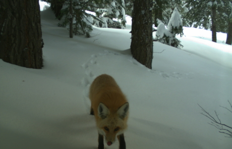 A red fox crossing through snow in a forest, looking toward camera