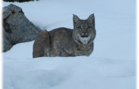 A bobcat in the snow, looking into the camera