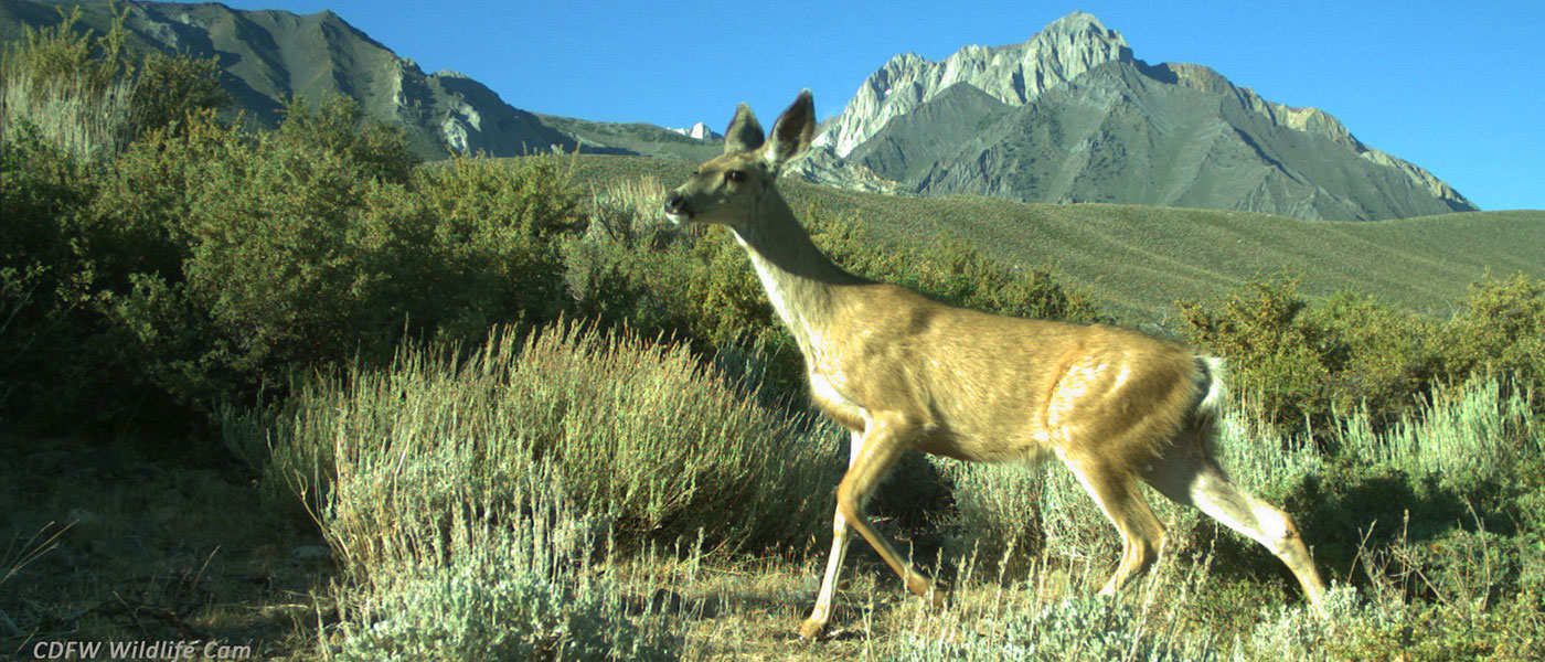 mule deer in eastern sierra near mount tom