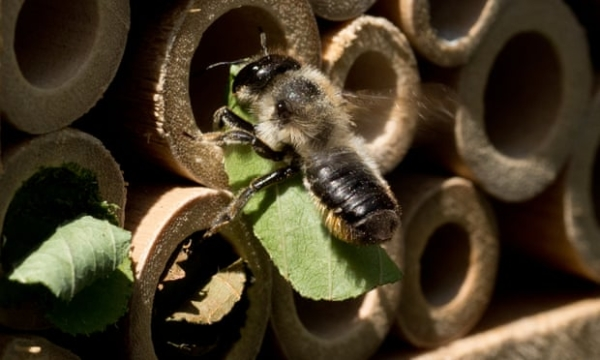 Leafcutter bee entering a Bee house; photo by Jez Dagley